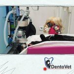 Tratamente stomatologie veterinara